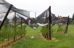 Des filets de protection protègent des arbres fruitiers contre la grèle.