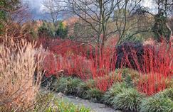 Avec leurs écorces rouge flamboyant, les Cornus alba 'Siberica' illuminent le jardin en hiver. Photo: Cédric Pollet.
