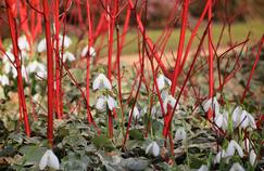 Écorces rouges de cornouillers sur un tapis de lierre et de perce-neiges. Photo extraite du livre  Jardins d'hiver. Une saison réinventée de Cédric Pollet paru chez Ulmer. Photo: Cédric Pollet.