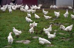 Un élevage de poulets dans l'ouest de la France en novembre 2014.