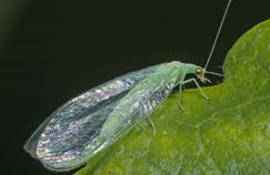 La larve de chrysope commune est une grande dévoreuse de pucerons et d'acariens