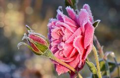 Rose sous le givre.