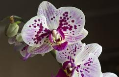 Phalænopsis en fleur. Cette magnifique orchidée est la plante d'intérieur la plus vendue au monde.