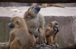 Les babouins de Guinée sont en mesure d'émettre cinq vocalisations: une sorte de «i», de «a» et de «ou». Crédit photo: Fotolia