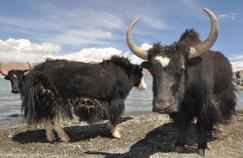 Ces gènes bovins qui ont adouci le yack