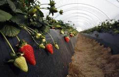 Des fraises espagnoles cultivées sous serre à Rociana del Condado, près de Huelva, en Espagne.