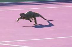 L'iguane qui a fait son apparition sur le court à Miami.