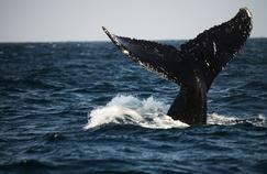 La queue d'une baleine à bosse dans l'océan Pacifique.