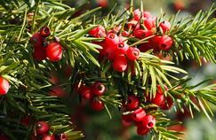 L'if est une plante très toxique, notamment ses graines.