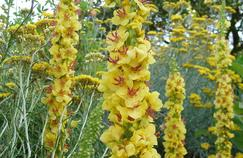 Molène noire ( Verbascum nigrum) en fleurs.