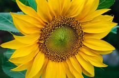 Les grands pétales jaunes situés à la périphérie du capitule émanent de fleurs stériles.