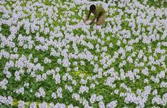 Jacinthe, la fleur des lamentations