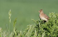 Découvrez en images les principales espèces d'oiseaux menacées dans nos campagnes