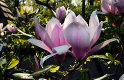 À l'ombre des magnolias en fleur