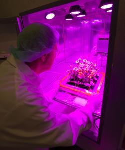 Les fleurs ont été cultivées sous des lumières LED au sein d'un laboratoire de l'ISS.