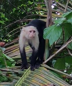Un singe capucin