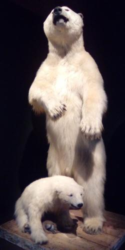 L'ours, comme l'homme, se tient debout.
