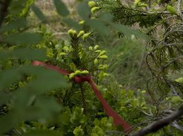 Un millier d'arbustes sont décorés d'un ruban rouge.
