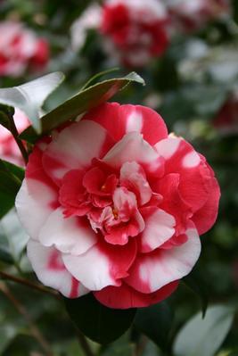 La variété <i>Camellia japonica</i> &#8216;General Coletti'. Photo: Ascona-Locarno Turism/Alessio Pizzicannella