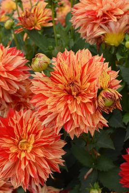 Le nouveau dahlia nain 'Janeiro' de Delbard/Nova flore est bien adapté à la culture en pots.