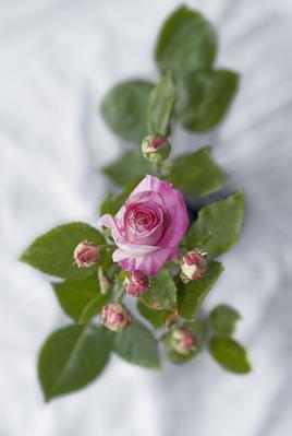 La rose 'Julie Andrieu' des Pépinières et roseraies Georges Delbard.