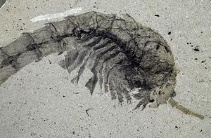 Fossile de <i>Waptia fieldensis.</i>