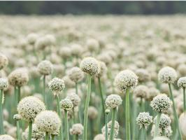 Fleur d'oignons dans un champ de multiplication de semences dans le sud de la France. .