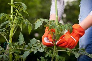Pour ne pas traîner à terre, les tiges de tomates doivent être attachées à un support.