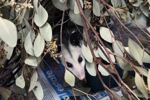 Opossum dAustralie