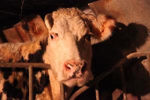 l'une des 18 vaches de Jean Médard
