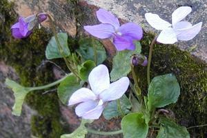 <i>Viola odorata</i>: formes naturelles de la variété &#8216;Reine Charlotte' sur muret. Crédit photo: P. Barandou/SNHF.