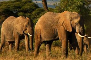 Les pays ont échoué à se mettre d'accord sur lune interdiction totale du commerce d'éléphants d'Afrique.