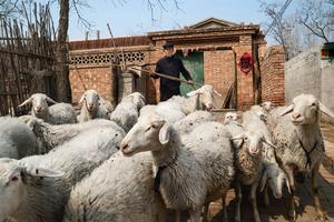Un berger guide son troupeau dans les faubourgs de Pékin. Les autorités des grandes villes multiplient les démarches pour «rééduquer» les paysans fraîchement urbanisés qui peinent à abandonner leurs traditions.