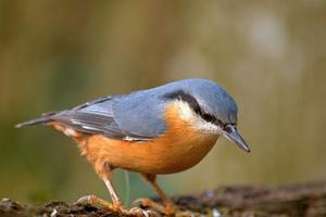 D'autres oiseaux sont menacés à Paris, comme la sittelle torchepot. <i>Flickr</i>
