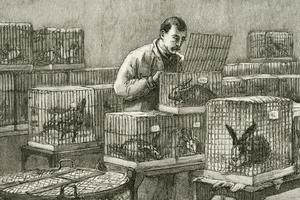 Les lapins du laboratoire de Louis Pasteur.