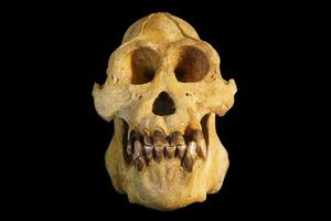 Le crâne qui a permis la définition de l'espèce <i>Pongo tapanuliensis</i>.