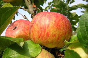 Pomme ancienne 'Nouvelle France'