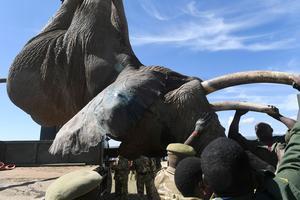 Les braconneurs tuent chaque année 50.000 éléphants.