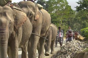 Les éléphants d'Asie sont souvent utilisés comme monture. Ils sont plus petits que leurs cousins d'Afrique.