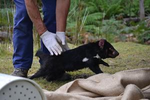 diable de tasmanie photo