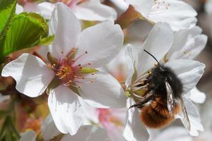 Une abeille collectant du pollen.
