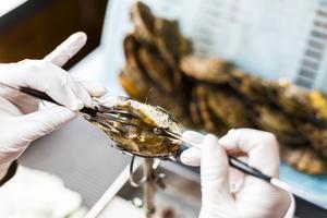 Les perles récoltées sont ensuite triées par des experts et montées dans les ateliers de Kobe. Avant de percer les billes de nacre, pour qu'elles soient enfilées en colliers, l'artisan les roule dans sa main gauche pour en vérifier une dernière fois la forme parfaite.