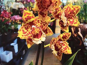 Orchidéiste Sylvain Georges.