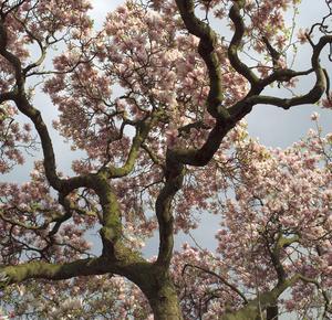 Le magnolia fut nommé ainsi par l'abbé Charles Plumier en hommage au travail du botaniste.