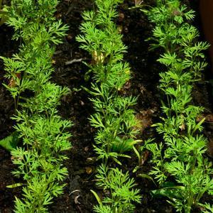 Jeunes plants de carotte. Crédits photo: Sakura sous licence Creative Commons.