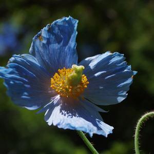 Pavot bleu de l'Himalaya (photo Gzhao)