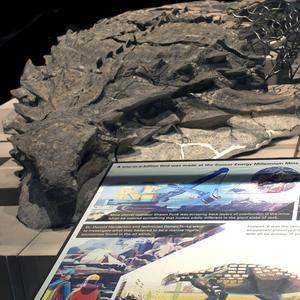 Le nodosaure fait partie de la nouvelle collection de dinosaures retrouvés dans la région lors d'activités minières et industrielles.