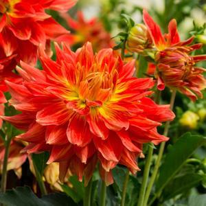 Pour rester beaux tout l'été, les dahlias doivent être taillés régulièrement