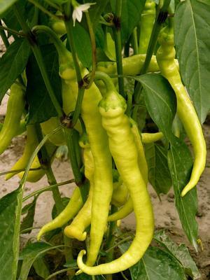 Certains piments, très forts, sont qualifiés de «brûlants».