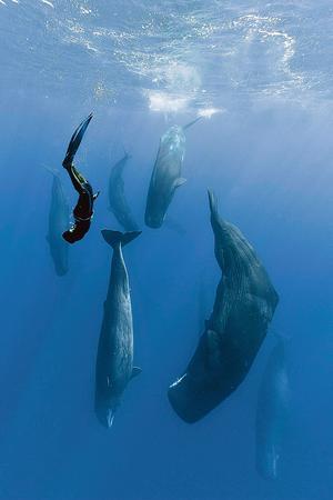 Un plongeur observe des grands cachalots à l'île Maurice.